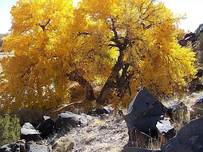 Photograph - Old Cottonwood Below Black Rocks by Jeannie Bushman