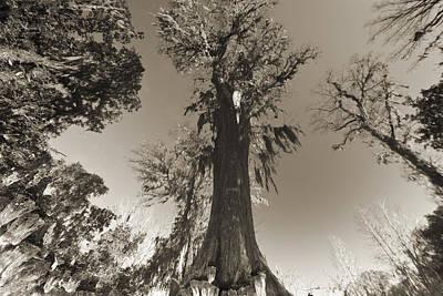 Old Cypress Tree Original by Dustin K Ryan