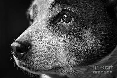 Rat Terrier Photograph - Old Dog by Patrick M Lynch