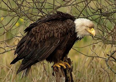 Photograph - Old Eagle by Sheldon Bilsker