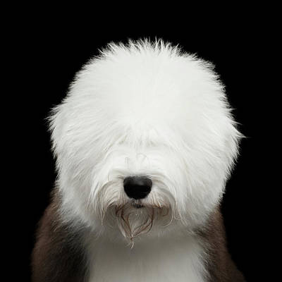 Photograph - Old English Sheepdog Bobtail by Sergey Taran