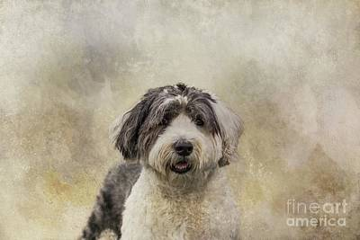 Photograph - Old English Sheepdog by Eva Lechner