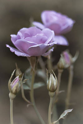 Photograph - Antique Purple Roses  by Jennie Marie Schell