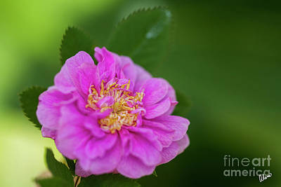 Photograph - Old Fashion Rose  by Alana Ranney