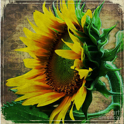 Photograph - Old Fashion Sunflower by Sandra Clark