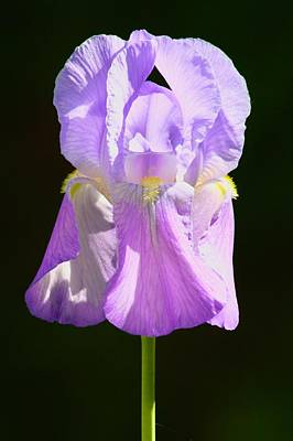 Photograph - Old Fashioned Grape Iris by Polly Castor