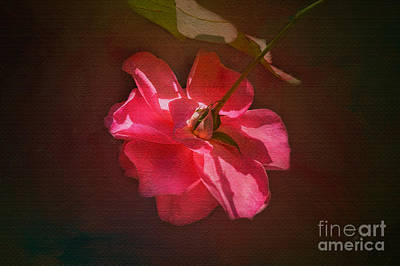 Photograph - Old Fashioned Rose by Diane Macdonald