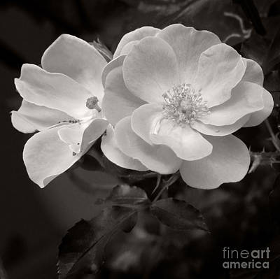 Photograph - Old Fashioned Rose by Karen Lewis