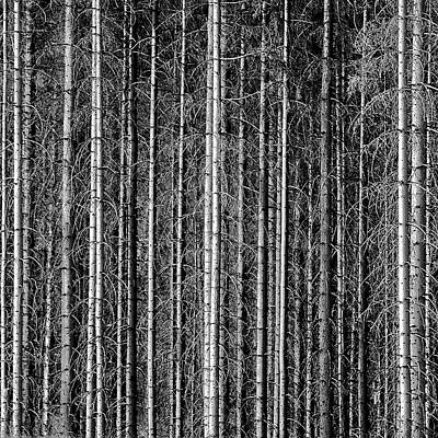 Norway Photograph - Old Forrest by Kristian Westgård