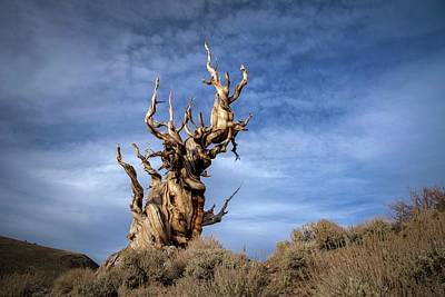 Bristlecone Photograph - Old Friend by Sean Foster