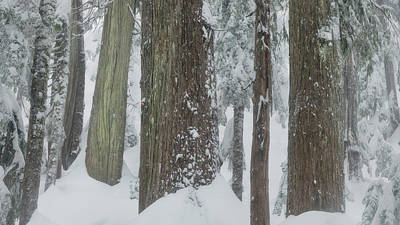 Photograph - Old Growth Forest by Adam Gibbs