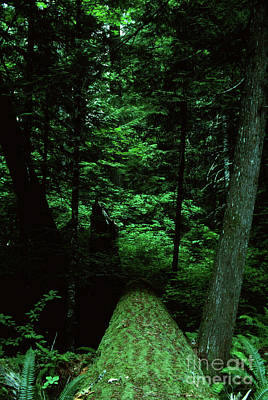 Photograph - Old Growth Forest At Lost Lake On Mount Hood by Rick Bures