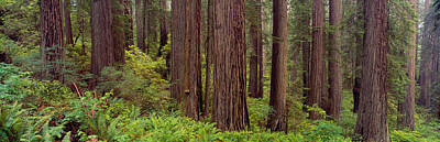 Old-growth Redwoods At Jedediah Smith Art Print