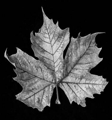 Photograph - Old Leaf Black And White by Garry Gay