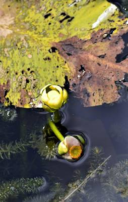 Photograph - Old Lily Leaf And Spatterdock Blooms by Warren Thompson