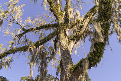Photograph - Old Moss Draped Live Oak Tree by MM Anderson