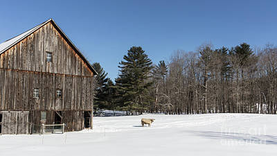 Old New England Barn And Cow In Winter Art Print by Edward Fielding