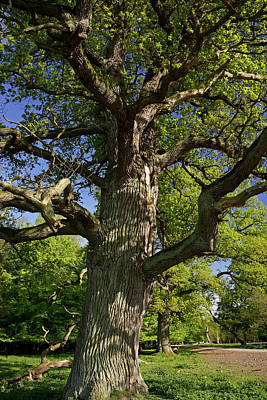 Photograph - Old Oak - 365-362 by Inge Riis McDonald