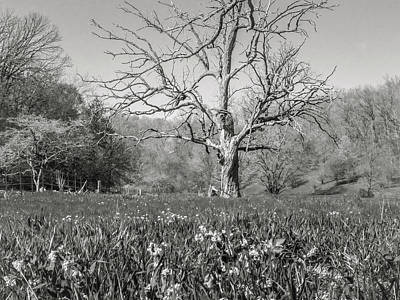 Photograph - Old Oak by Mark Mille