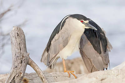 Nikki Vig Royalty-Free and Rights-Managed Images - Old Red Eye Night Heron by Nikki Vig