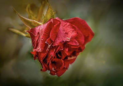 Photograph - Old Red Rose #h0 by Leif Sohlman