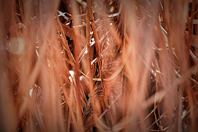 Photograph - Old Reed #g3 by Leif Sohlman