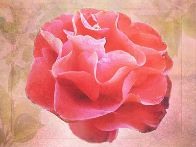 Photograph - Old Rose by Susan Vineyard