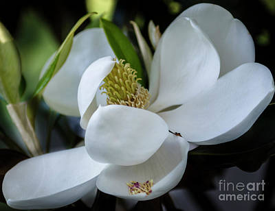 Photograph - Old South Blooms by Dale Powell