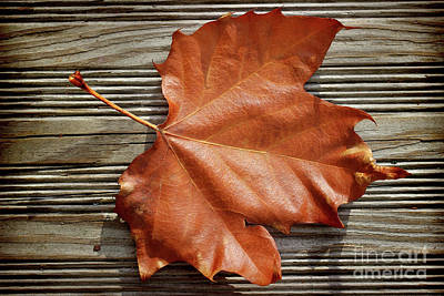 Photograph - Old Sycamore Leaf by Karen Adams