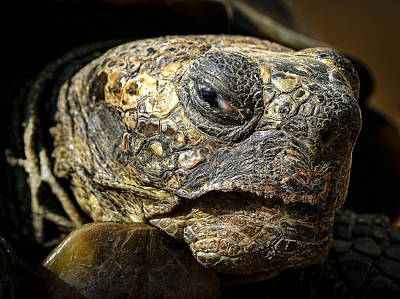 Photograph - Old Tortoise by Jean Noren