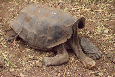 Photograph - Old Tortoise by Will Burlingham