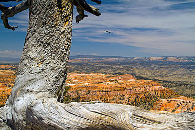 Photograph - Old Tree At Bryce Canyon by Waterdancer