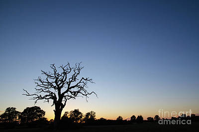 Photograph - Old Tree Silhouette by Kennerth and Birgitta Kullman
