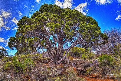 Photograph - Old Utah Juniper by Roger Passman