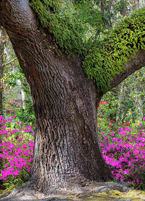 Photograph - Old Village Early Bloom - Mt. Pleasant Sc by Donnie Whitaker
