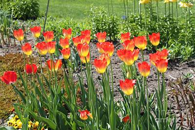 With Red. Photograph - Old Westbury Garden Tulips by John Telfer