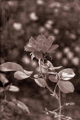 Photograph - Old Western Knockout Rose Vertical by Aimee L Maher Photography and Art Visit ALMGallerydotcom
