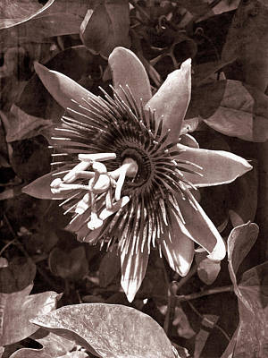 Photograph - Old Western Passion Flower 5 by Aimee L Maher Photography and Art Visit ALMGallerydotcom