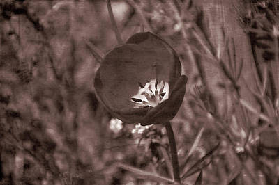 Photograph - Old Western Tulip by Aimee L Maher Photography and Art Visit ALMGallerydotcom