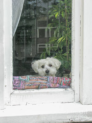 Photograph - Old White Poodle Alone At Home by Patricia Hofmeester