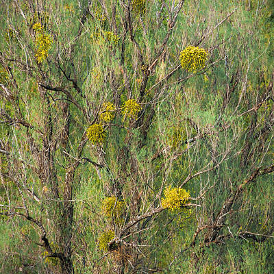 Photograph - Old Willow With Mistletoe by Alexander Kunz