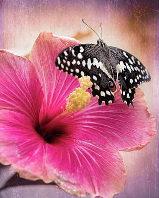 Photograph - Old World Swallowtail On Pink Hibiscus by Susan Rissi Tregoning