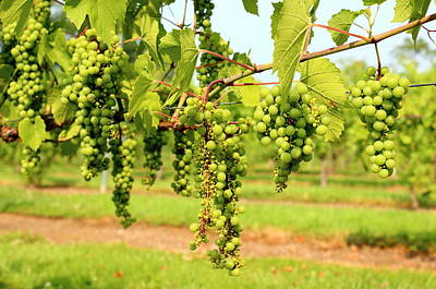 Old York Winery Grapes Art Print by Brian Manfra