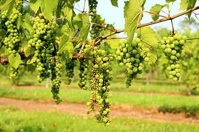 Old York Winery Grapes Art Print