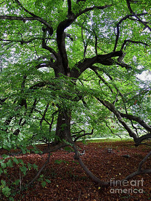 Photograph - Oldest Tree On The Grounds Of Monticello, Charlottesville, Va -80053 by John Bald