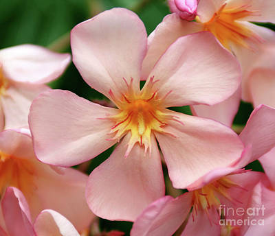 Art Print featuring the photograph Oleander Dr. Ragioneri 1 by Wilhelm Hufnagl