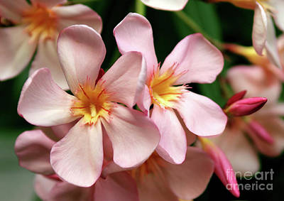 Art Print featuring the photograph Oleander Dr. Ragioneri 2 by Wilhelm Hufnagl