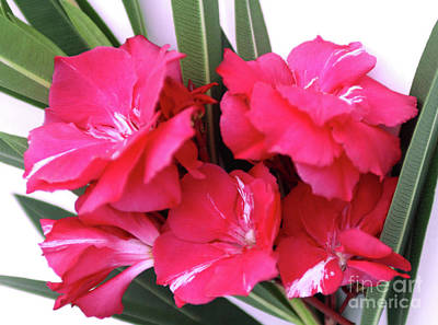 Art Print featuring the photograph Oleander Geant Des Batailles 1 by Wilhelm Hufnagl