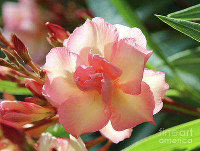 Photograph - Oleander Mrs. Roeding 1 by Wilhelm Hufnagl