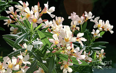 Photograph - Oleander Petite Salmon 3 by Wilhelm Hufnagl